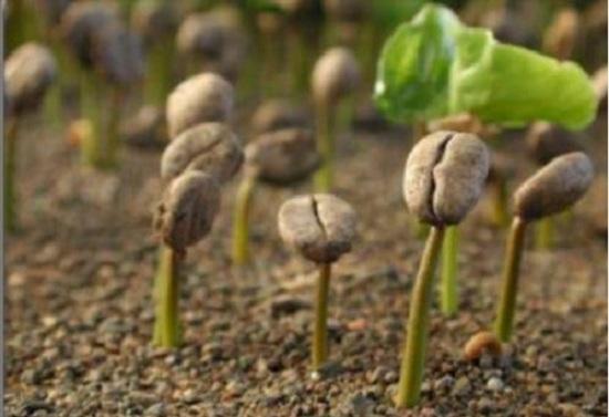 Размножение кофе семенами