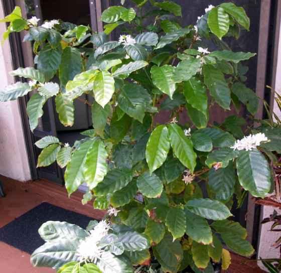 выращивание кофе дома