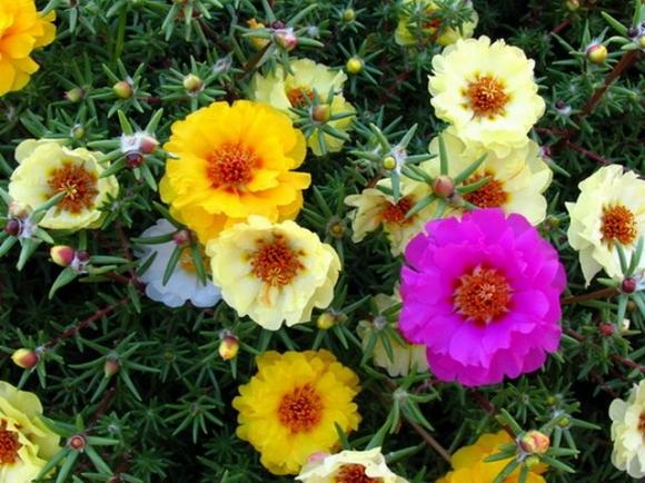 портулак с махровыми и полумахровыми цветами