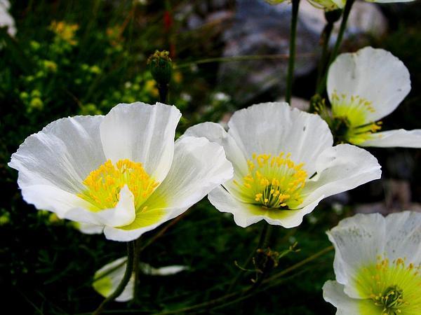 Однолетние низкорослые растения
