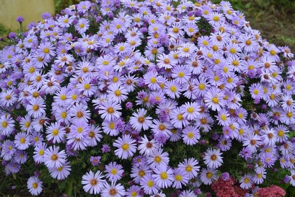 низкорослые цветы для клумбы фото