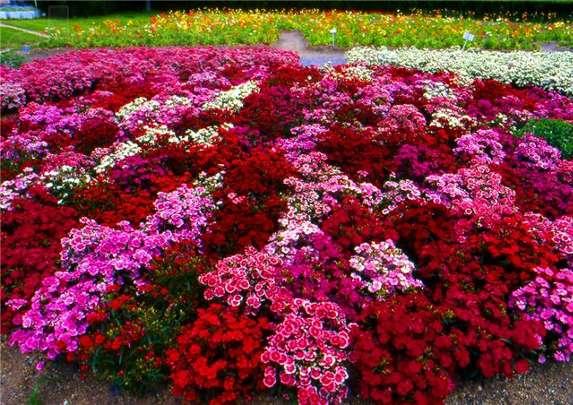 Цветочные композиции, особенно если ...: designdachi.ru/nizkoroslye-cvety-dlya-klumb-yarkie-notki...