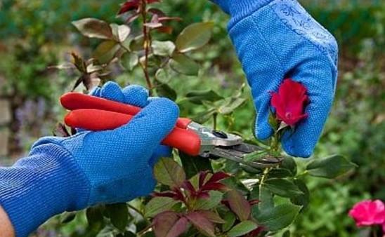 плетистая роза подготовка к зиме