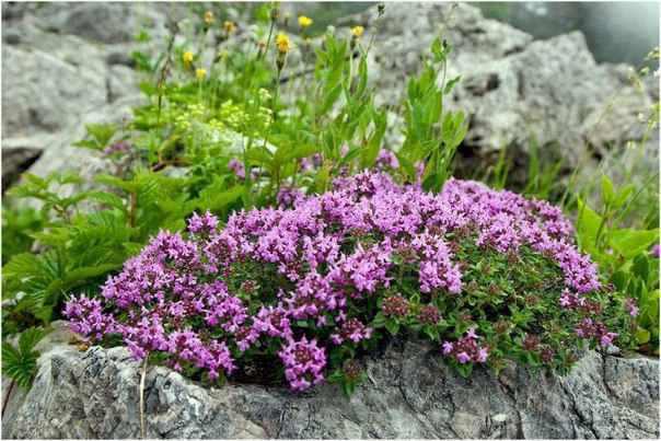 Растение для альпийской горки тимьян ползучий