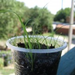 Циперус из семян