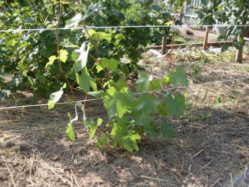 уход за молодым виноградом