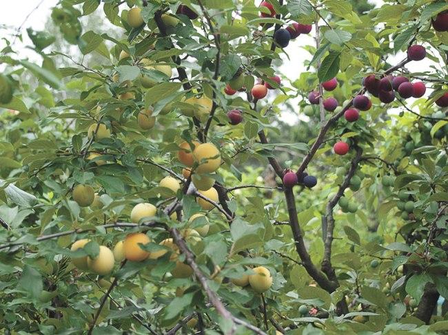 Прививаем плодовые деревья — для чего