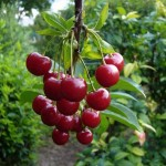 Выращивание черешни в Средней полосе
