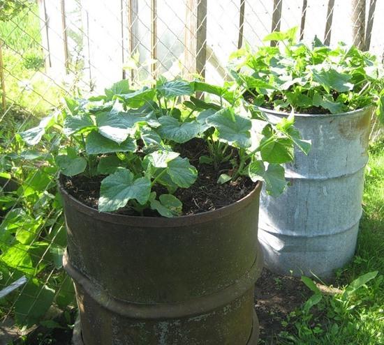 выращивании тыкв в бочке