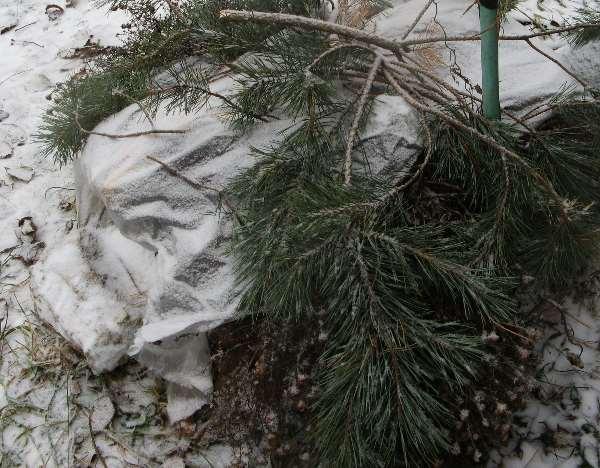 клематисы укрытие на зиму