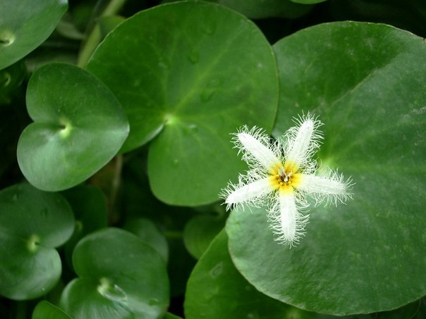 болотноцветник
