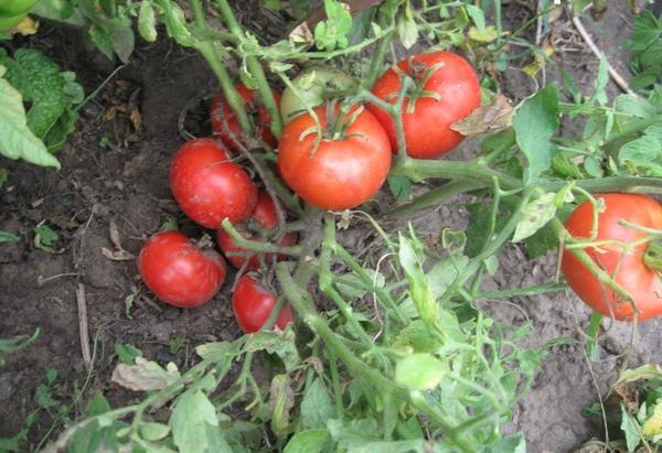 сорт томатов монгольский карлик