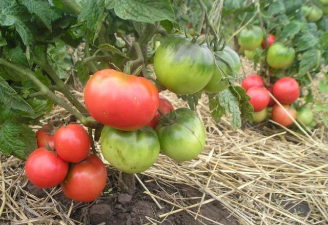 сорт томатов Розовый лидер