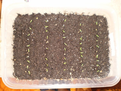 эустома выращивание из семян фото