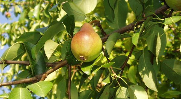 Выращивание груши в крыму