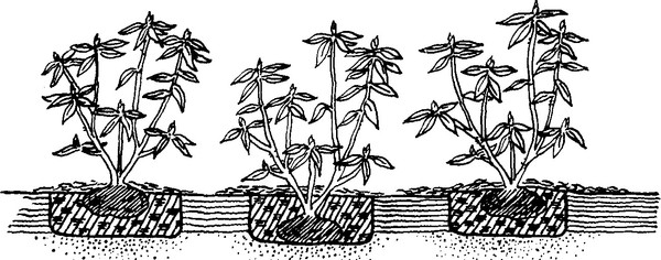 посадка рододендронов