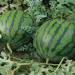 Секреты выращивания арбузов