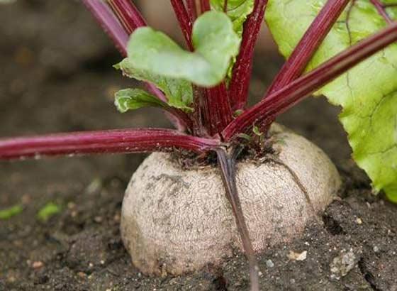 Выращивание свеклы через посев в грунт