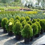 выбор лиственных саженцев