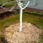 Мульчирование на зиму приствольных кругов молодых деревьев