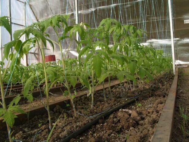 подкормки томатов в теплице