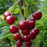Три урока любителям вишни