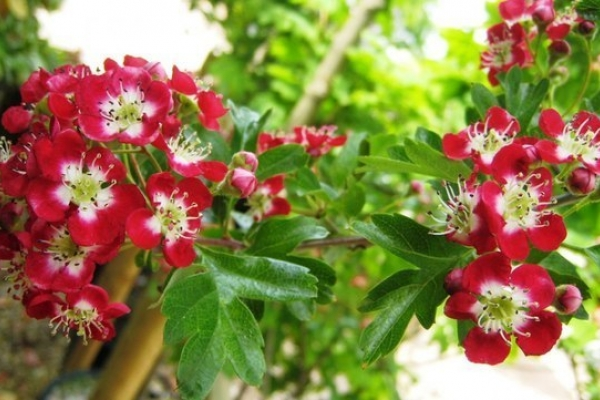 Боярышник красный в саду
