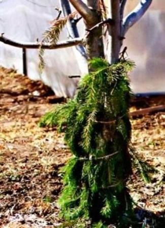 Как зимой спасти молодые деревья от грызунов