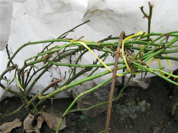 Подготовка роз к зиме - укрытие роз на зиму