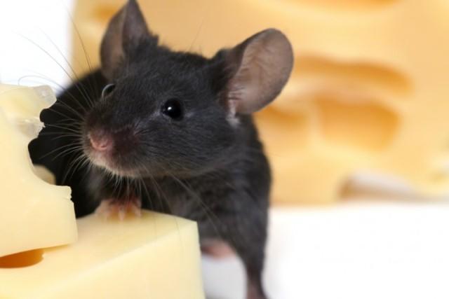 Признаки появления мышей в доме