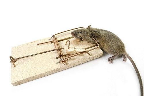 как бороться с мышами с помощью мышеловк