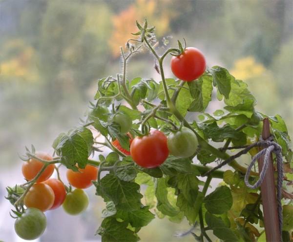 помидоры зимой на подоконнике фото