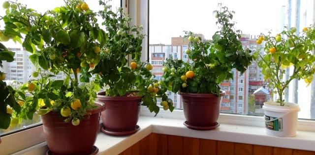 фото помидоры зимой на подоконнике