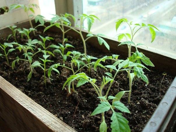 Как вырастить помидоры зимой на подоконнике через рассаду