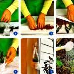 Как укоренить черенки хвойных зимой