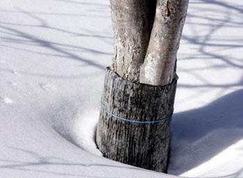 защита сада зимой