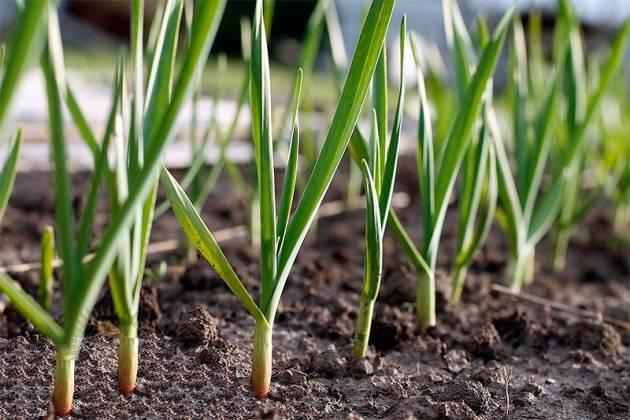 выращиваем зеленый чеснок