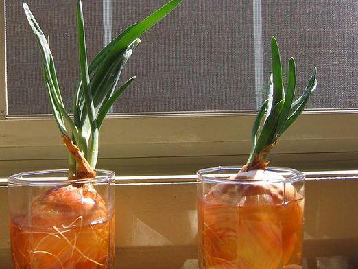 выращивание зеленого лука на подоконнике в воде