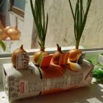 Выращивание зеленого лука на подоконнике в емкости из-под сока