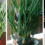 Выращивание зеленого лука на подоконнике в пластиковых бутылках