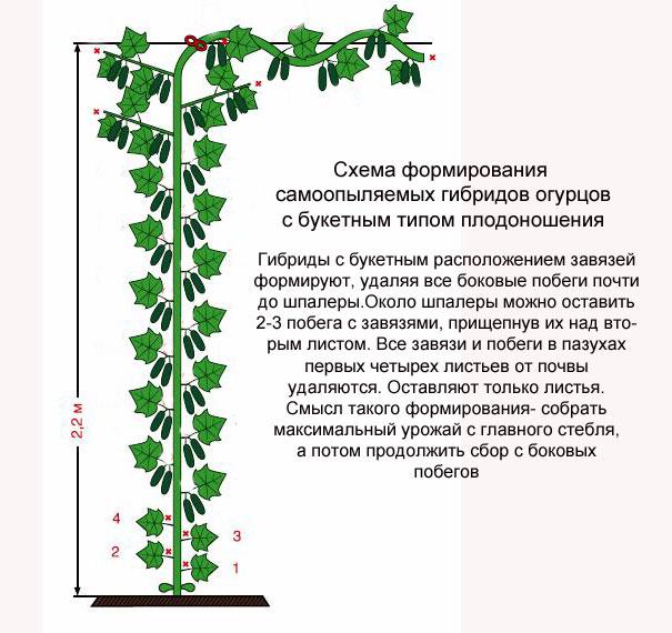 Схема формирования куста огурцов при выращивании на шпалере