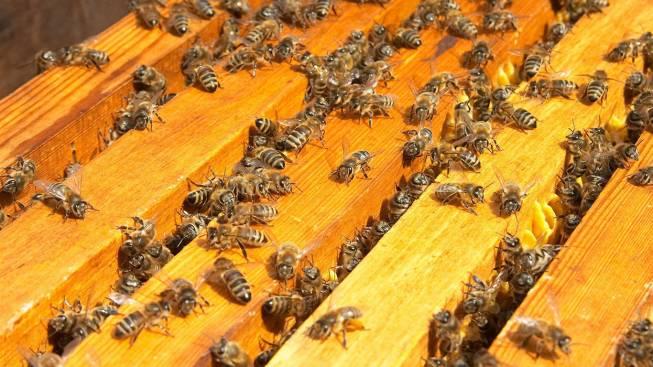 Покупка пчел и уход за ними