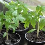 как вырастить рассаду томатов в домашних условиях