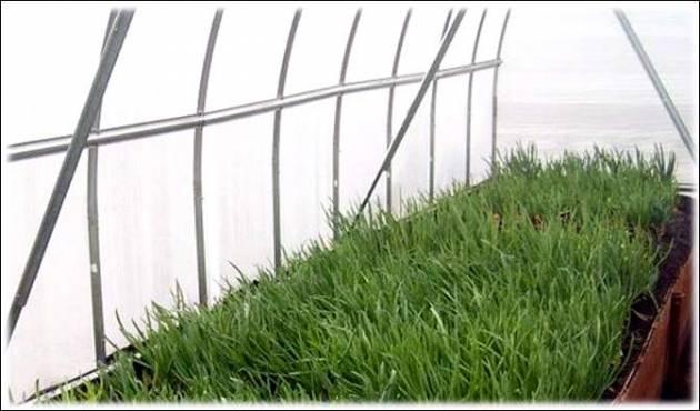 Выращиваем в теплице зеленый лук