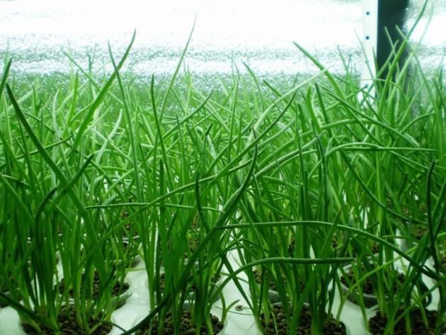 Выращиваем дома зеленый лук