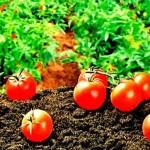 5 советов по выращиванию крупных томатов