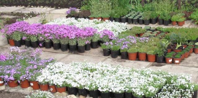 посадочный материал цветов в питомнике растений