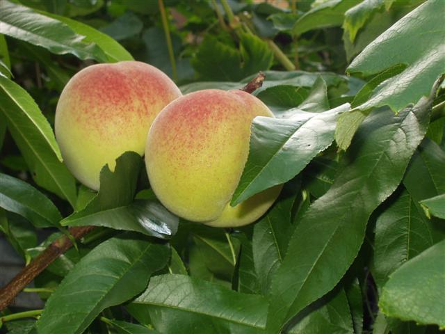 Как обрезать персик весной и сформировать его крону