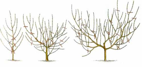 Вариант обрезки персика