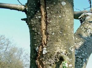 Как вылечить кору плодовых деревьев